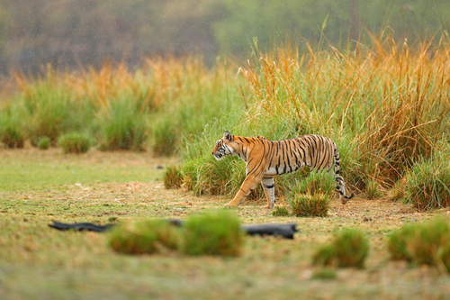 Tiger walking in lake grass. Indian tiger with first rain, wild danger animal in the nature habitat, Ranthambore, India. Big cat, endangered animal, nice fur coat. End of dry season, monsoon.